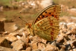 High Brown Fritillary (Argynnis addipe)
