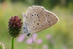 Scarce Large Blue (Maculinea telejus)