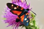 Variable Burnet Moth (Zygaena ephialtes)