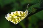 Eastern Dappled White