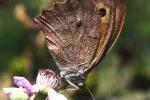Oriental Meadow Brown