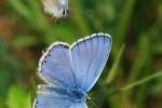 Adonis Blue, Slovakia