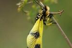 Ascalaphus macaronius, Slovakia