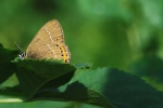 Black Hairstreak, Czech Republic