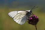 Black-veined White, Macedonia