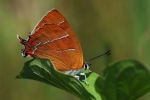 Brown Hairstreak, Czech Republic