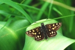 Chequered Skipper, Czech Republic