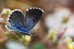Eastern Baton Blue, Macedonia