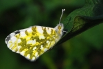 Eastern Dappled White, Macedonia