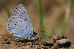 Eastern Short-tailed Blue, Czech Republic