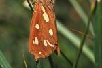Hyphoraia aulica, Slovakia
