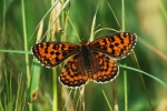 Lesser Spotted Fritillary, Macedonia