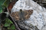 Oberthür´s Grizzled Skipper, Macedonia