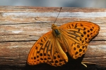 Silver-washed Fritillary, Greece