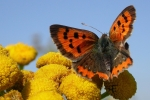 Small Copper, Czech Republic