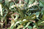Spurge Hawk-moth larvae, Macedonia