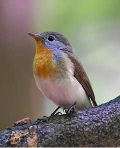red-breasted-flycatcher
