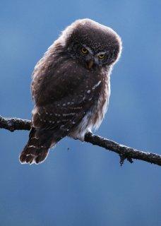 Pygmy Owl, Slovakia