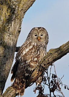 Ural Owl, photo Miloš Balla