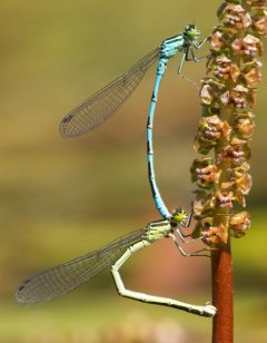 Spearhead Bluet (Coenagrion hastulatum), photo Martin Waldhauser