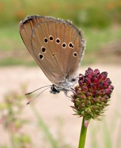 Dusky Large Blue (Phengaris nausithous)