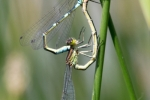 Crescent Bluet (Coenagrion lunulatum), photo MW