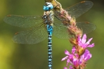 Blue-eyed Hawker (Aeshna affinis), photo Martin Waldhauser