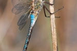 Lesser Emperor (Anax parthenope), photo Martin Waldhauser