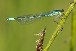 Crescent Bluet (Coenagrion lunulatum), photo Martin Waldhauser