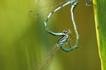Ornate Bluet (Coenagrion ornatum), photo Martin Waldhauser