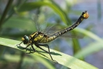 Common Clubtail (Gomphus vulgatissimus), photo Martin Waldhauser