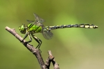 Green Snaketail (Ophiogomphus cecilia), photo Martin Waldhauser