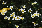 Water Crowfoot (Batrachium)