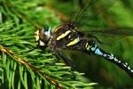 Moorland Hawker (Aeshna juncea)
