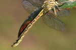 River Clubtail (Gomphus flavipes)