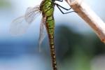 Green-eyed Hawker (Aeshna isoceles)