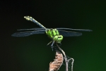 Green Snaketail (Ophiogomphus cecilia)