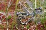 Moorland Hawker (Aeshna juncea), photo Dušan Šácha