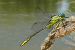 River Clubtail (Gomphus flavipes), photo Miloš Balla
