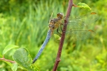 Keeled Skimmer (Orthetrum coerulescens), photo Miloš Balla