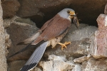 Lesser Kestrel, Spain, Stanislav Harvančík