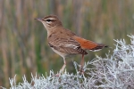 Rufous Bush Chat, Lesvos, Stanislav Harvančík