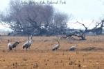 Common Cranes, photo Sotiris Mountzelos