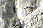 Rock Nuthatch favours quarries and rocks