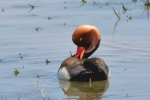 Red-crested Pochard, uncommon in winter