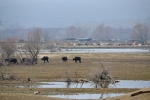 Hundreds Water Buffalos are bred around the lake