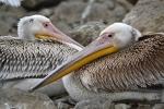 Immature White Pelicans
