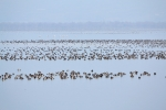 Up to 40 000 wildfowl can be present