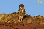 Little Owl is common, photo Kostas Papadopoulos
