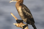 Pygmy Cormorant is common, photo Kostas Papadopoulos